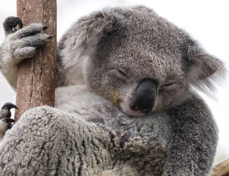 Edinburgh Zoo Koalas