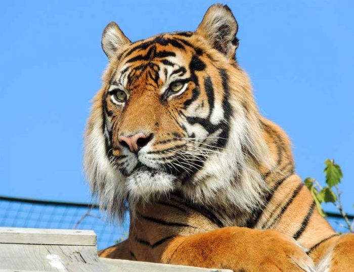 Edinburgh Zoo Tigers