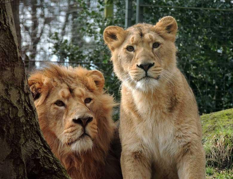 Edinburgh Zoo Lions